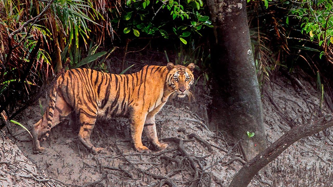 BANGLADESH: Lo spettacolo delle Sundarbans tra mangrovie e tigri