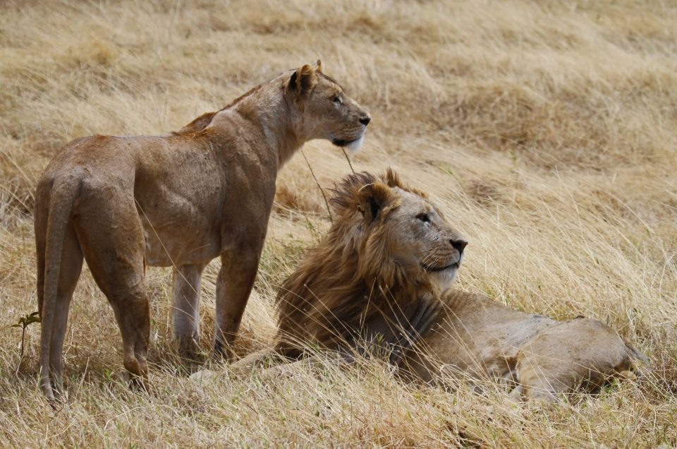 Hunting with lions