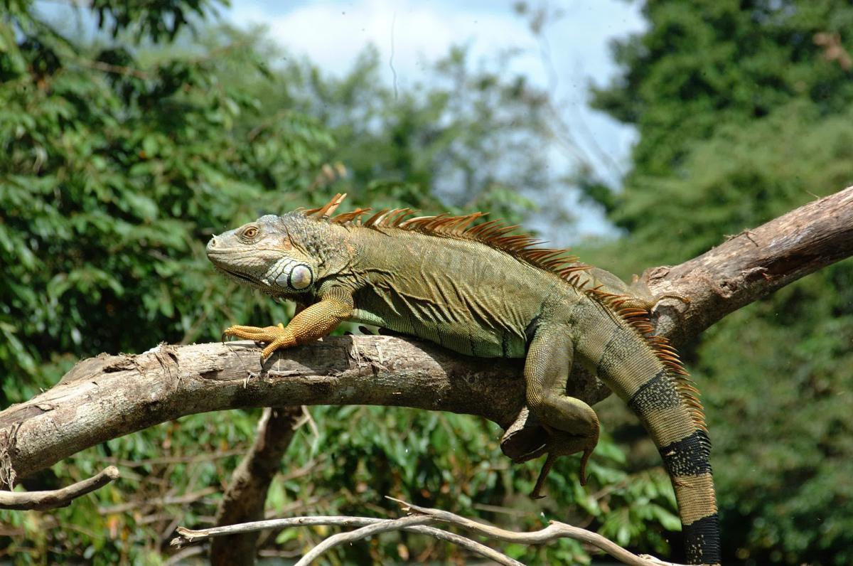 14- Iguana