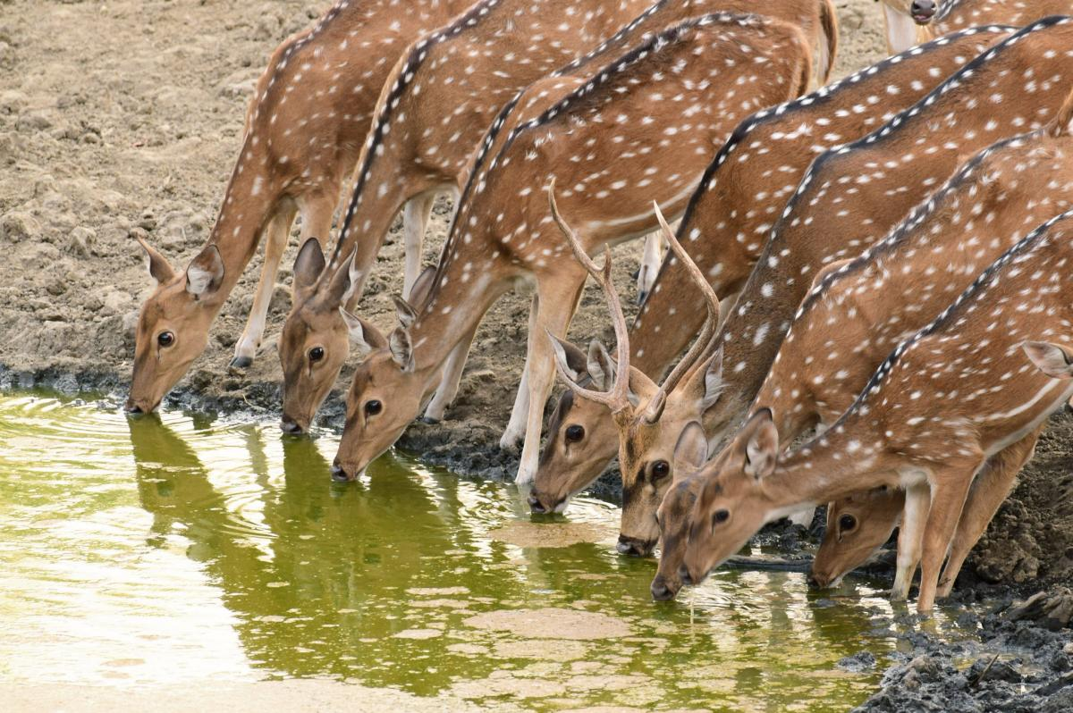 deer pench np