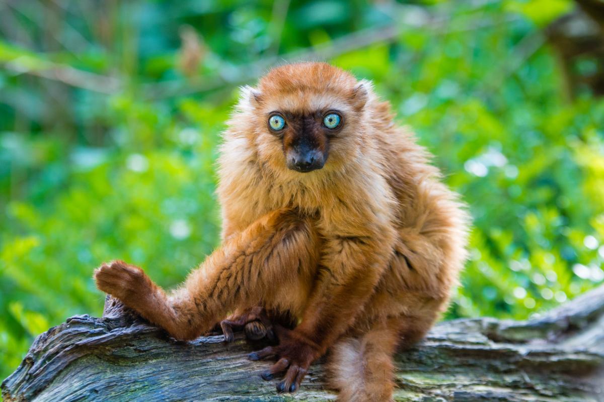 madagascar lemure rosso