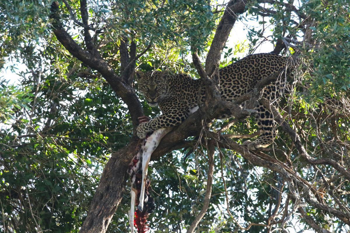 mara leopardo albero cleo 9000 copia